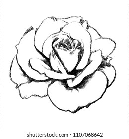 A drawing of a rose with colored pencils on a white background for design. Flowers. Isolated.Graphic arts.