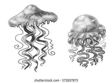Line Drawing Jellyfish : Jellyfish drawings vanessa daws