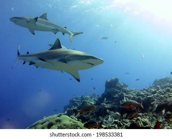 A dream shark dive. Shark feeding dive, Micronesia, Yap. White tip reef shark and grey tip reef shark