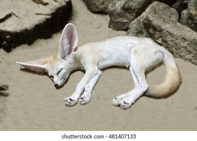 Dreaming fennec fox (Vulpes zerda), the national animal of Algeria and the smallest species of canid