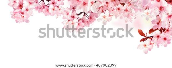 Мечтательные цветет вишни как естественная граница, студия изолирована на чистом белом фоне, формат панорамы