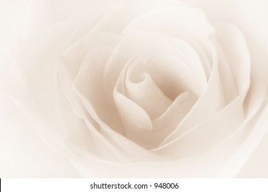 Dreamy Cream Rose