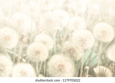 Dreamy dandelions blowball flowers against sunset. Pastel golden toned. Macro with soft focus. Delicate transparent airy elegant artistic image of spring. Nature greeting card background.