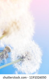 Dreamy dandelions blowball flowers against sky sunset. Pastel toned. Macro with soft focus. Delicate transparent airy elegant artistic image of spring. Nature greeting card background.