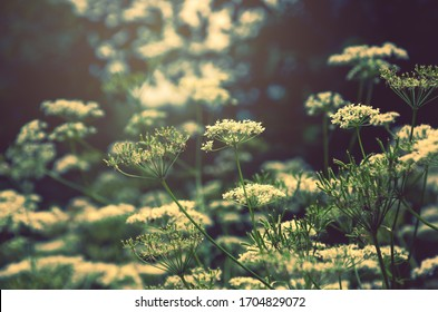 Dreamy forest nature background.Close up of angelica  sylvestris or wild angelica blooming flowers with blurred forest trees on background.Hazy vintage photo.