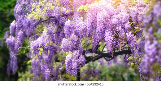 Dreamy garden shot of wisteria flowers blossoming in a beautiful purple color in spring