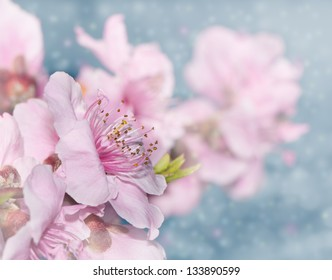 Dreamy image of soft pink peach blossoms on light blue bokeh background