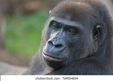 Dreamy look of a big black gorilla