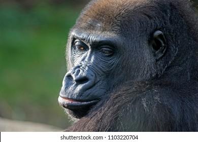 Dreamy look of a gorilla portrait
