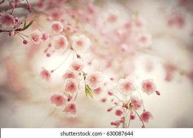 Dreamy photo of cherry tree blossoming