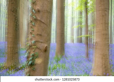 Dreamy soft focus image of a spring forest full of violet bluebells.