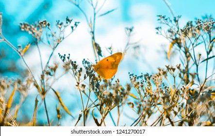 Dreamy, soft focus image of a yellow butterfly sitting on dry plants with a creamy teal background. Indian summer concept