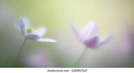 dreamy wild flower, wood anemone nemerosa. Fragility, purity romantic pristine floral