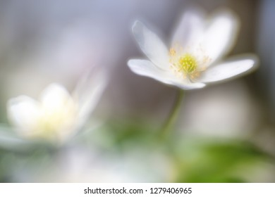 Dreamy wild wood anemone in soft focus. These white wildflowers bloom in early spring depicting new life or new start