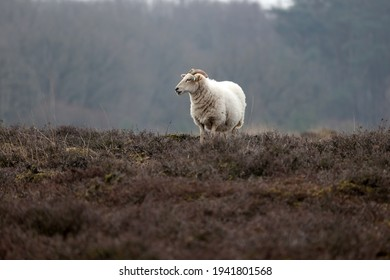 Drents heide sheep in Dwingelderveld, the Netherlands