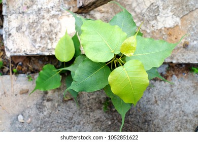 drepane punetatus bo leaf sacred fig grow up on crack cement