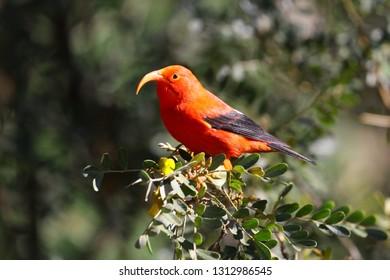 """The ʻiʻiwi (Drepanis coccinea, pronounced /iːˈiːviː/, ee-EE-vee), or scarlet honeycreeper is a """"hummingbird-niched"""" species of Hawaiian honeycreeper"""