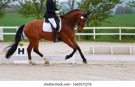 Dressage horse galloping with rider.