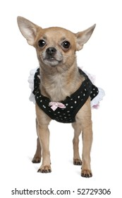Dressed up Chihuahua, 3 years old, standing in front of white background