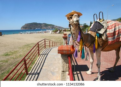 dressed up Dromedary waiting on the boulevard for tourists who want to pay and going for a ride on the beach