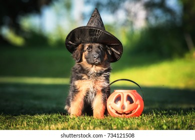 Dressed german shepherd puppy with a halloween pumpkin