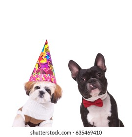 dressed shih tzu and french bulldog ready to party on white background