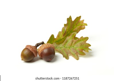 Dried acorns on white
