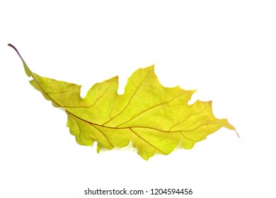 Dried autumn leaf in closeup on a light white background with clear view of the leaf skeleton in autumnal colors