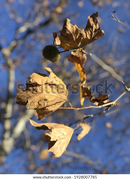 dried-autumn-maple-leaves-on-600w-192800