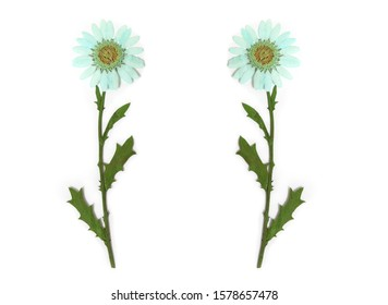 Dried Blue Flowers on White Background