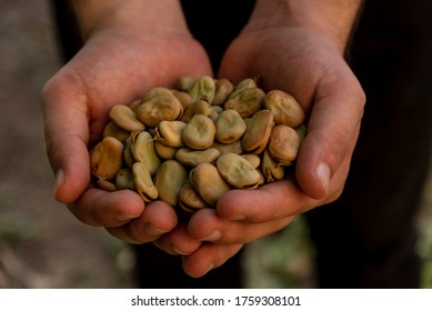 Dried broad beans seeds in young man's hand
