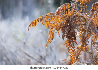 Dried brown bracken leaves at frosty morning against sunlight
