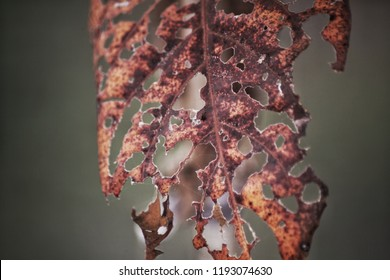 dried brown dead leaf on tree with blurry background, blight disease from insect pests in field, damage and are characterized by wilting, scab, moldy coatings, rusts, blotches and rotted tissue
