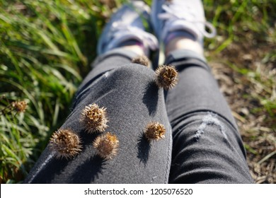 Dried brown seed heads of lesser burdock plant attached to trousers, velcro plant, something unwanted concept.