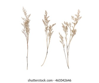 Dried Caspia Flowers on white background