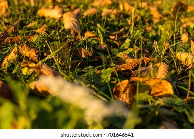 dried cherry leaves on grass at dusk