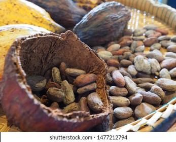 Dried cocoa bean in cocoa pod showing color after it was fermentation