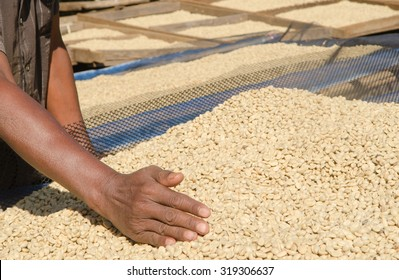 dried coffee beans in hand