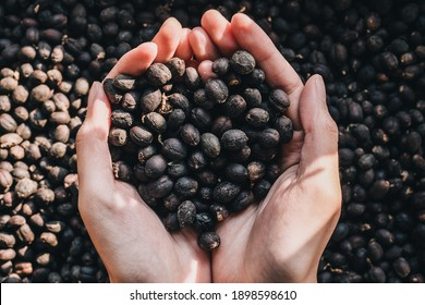 Dried coffee beans which were dried by Sun or Natural process on the holding hand