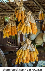 The Dried Corn cob hanging the farmer of traditional hut in Thailand, Ripe corn cobs dried in the sun.