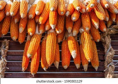Dried corn cobs hanging over wooden wall to dry out.