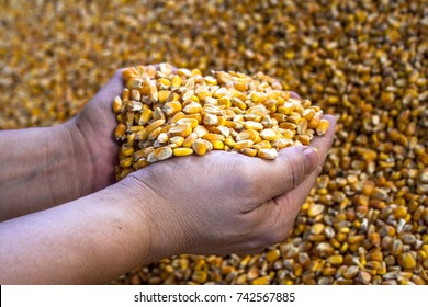 Dried corn with moving hands, in corn background