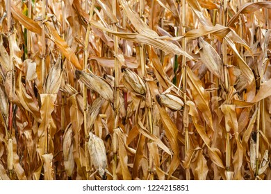 Dried corn plants with cobs.