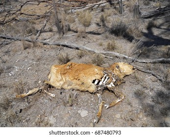 Dried Cow Carcass near Rockhampton, Queensland, Australia