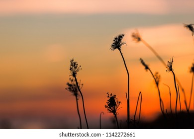 Dried dead weeds silhouetted against a sunset.