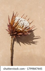 dried exotic flower Protea and shadow on beige  paint textured background close up . poster. minimal floral concept - Shutterstock ID 1799847445