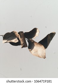 Dried exotic leaf plant at white wall background