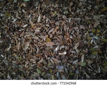 Dried fallen leaves