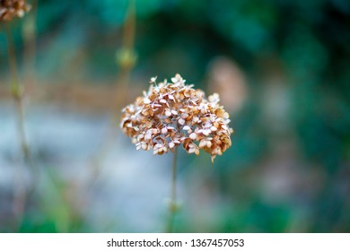 Dried flower. Close-up with blurred background.