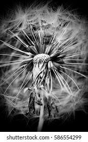 Dried flower Dandelion. Macro. Black and white
